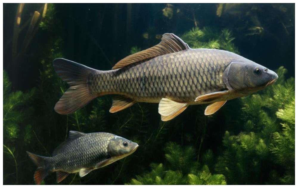"""淡水鱼价格""""涨势汹汹""""为哪般?未来价格走势如何?"""