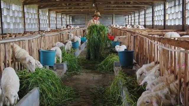 羊肉价格大跌、养羊亏损?实际情况到底如何?