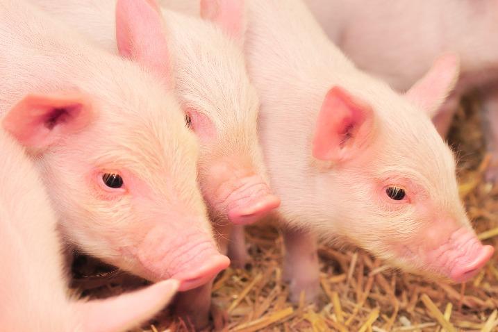 国务院常务会议确定稳定生猪产能措施