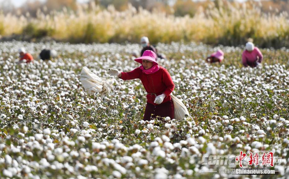 新疆3700�f��棉花迎�聿墒兆蠲�r�