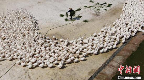 """一片鹅毛在贵州大山里引发的""""蝴蝶效应"""""""